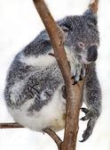 Chilled koala — Stock Photo