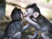 Monkey from bali whispering — Stock Photo