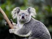 Koala australian — Stock Photo