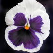 Stock Photo: Pansy isolated hi res