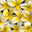 Frangipani high resolution — 图库照片 #17396483