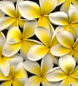 Frangipani high resolution — Stock Photo