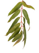 Gum tree leaves — Stock Photo