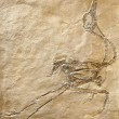 Fossil of bird maybe - Stock Photo