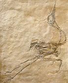 Fossil of bird maybe — Stock Photo