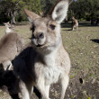 Australian kangaroo wideangle — Stockfoto