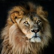 Proud lion — Stock Photo