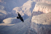 Condor at grand canyon — Stock Photo