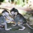 Balinese baby monkey with bully — Stock Photo