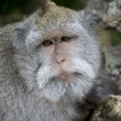 Hairy monkey from bali — Stock Photo