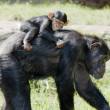 Stock Photo: Chimp mother with baby on back