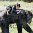 Chimp mother with baby on back — Stock Photo #27683469
