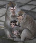 Balinese baby monkey family — Stock Photo