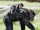 Chimp mother with baby on back — Stock Photo
