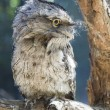 Tawny frogmouth from australia — Stock Photo