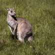 Marsupial kangaroo — Stock Photo