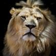 Stock Photo: Proud lion
