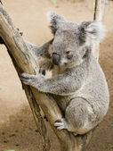 Cute koala — Stock Photo
