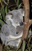 Koala — ストック写真