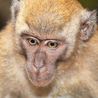 Stock Photo: Pondering monkey