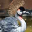 Crowned crane — Stock Photo #28140019