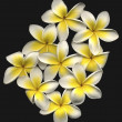 Beautiful hi res frangipani — Stock Photo