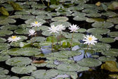 Waterlily teich — Stockfoto