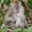 Stock Photo: Monkey with tongue showing