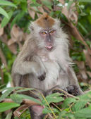 Monkey with tongue showing — Stock Photo
