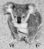 Koala on ground — Stock Photo