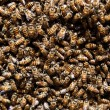 Thousands of bees — Stock Photo