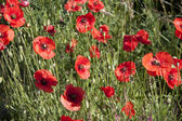 Poppies in france — Stock Photo