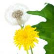 Dandelion with leaf — Stock Photo