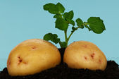Potatoes on a soil — Stock Photo