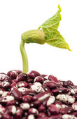 Haricot sprout — Stock Photo
