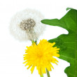 Stock Photo: Taraxacum bloom