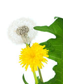 Taraxacum bloom — Stock Photo