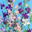 Delphinium flowers - Stock Photo