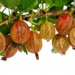 Pink gooseberries — Stock Photo