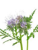 Blooming phacelia — Stock Photo