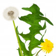Dandelion flower — Stock Photo #27208203