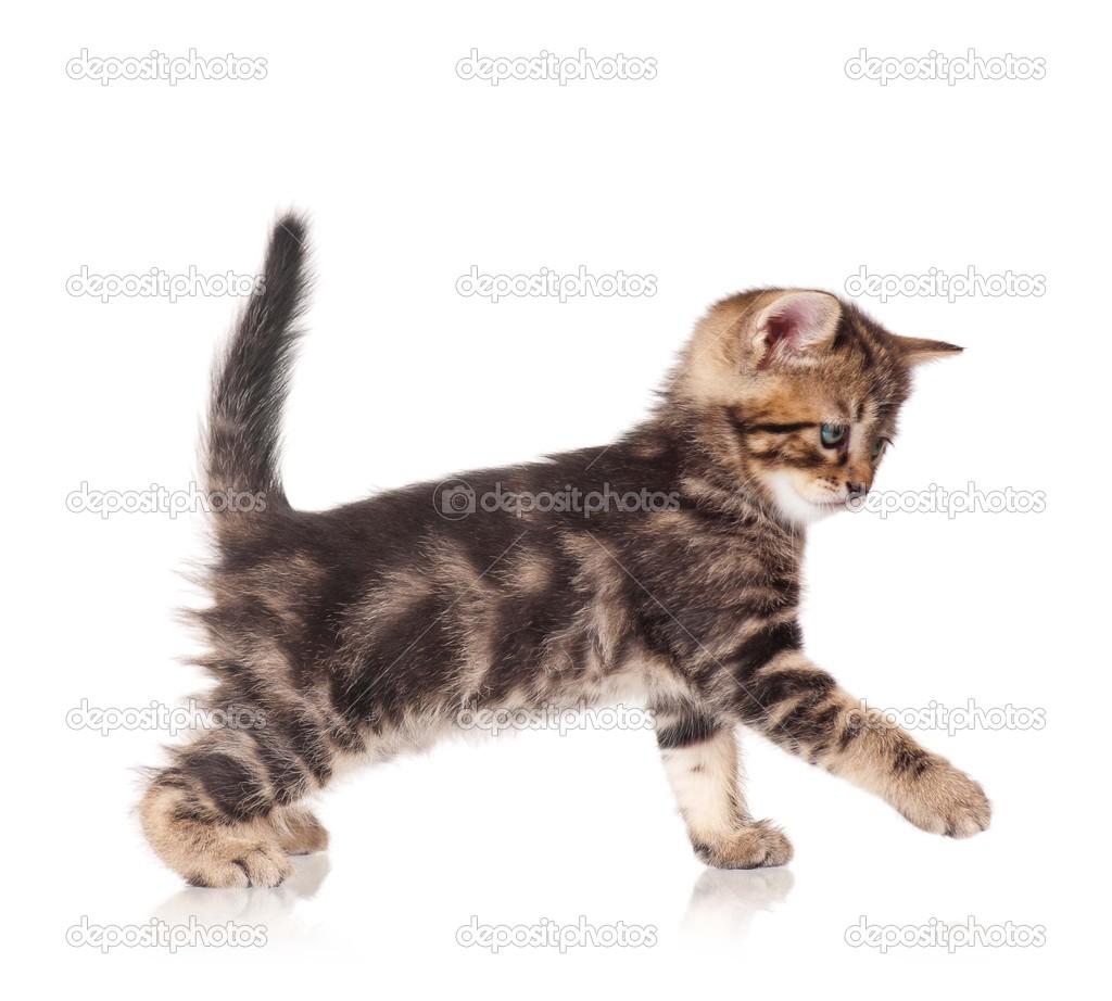 可爱的小猫站在白色背景抠图的配置文件的侧视图