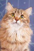 Gato siberiano — Fotografia Stock