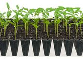 Young sprouts — Stock Photo