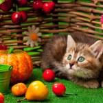 Постер, плакат: Siberian kitten