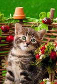 Siberian kattunge — Stockfoto