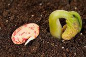 Sprout haricot — Fotografia Stock
