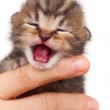 Neonate kitten — Stock Photo #48948445