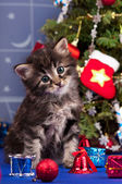 ふわふわ子猫 — ストック写真