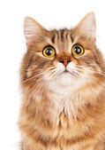 Siberian cat — Stock Photo